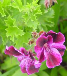 geranium-rosat.jpg