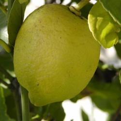 he-citron.jpg